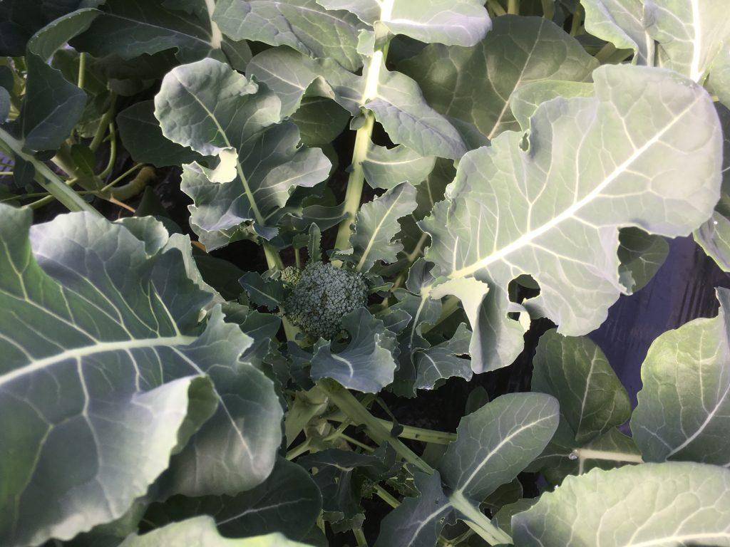 ブロッコリーの頂花蕾