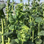 ちぢみ菜の菜の花